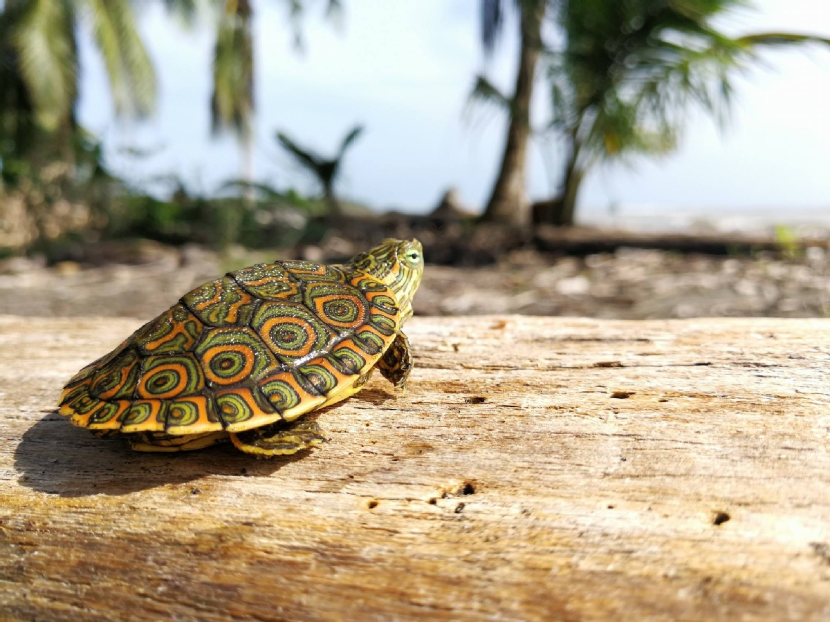 Volunteer with Tortugas de Pacuare