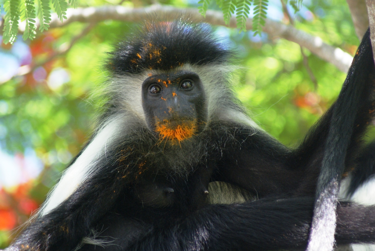 Volunteer with Colobus Conservation