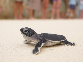 Volunteer with Turtle Watch Camp Malaysia