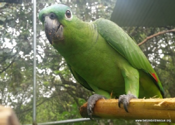 Volunteer with Belize Bird Rescue