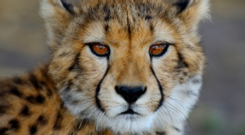 Volunteer with Cheetah Outreach